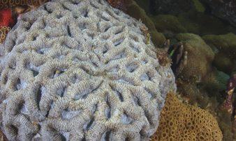 Coral Cérebro, projeto pesquisa marinha e pesqueira