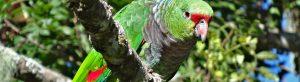 papagaio-de-peito-roxo apoiado pelo TFCA/Funbio