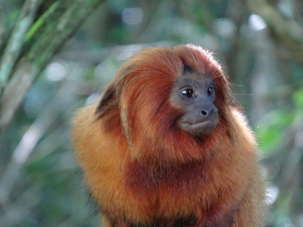 Campanha para proteção dos macacos. Foto: mico-leão-dourado