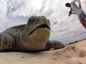Zelinha com tartaruga verde (Chelonia mydas), gestora tem apoio do GEF Mar