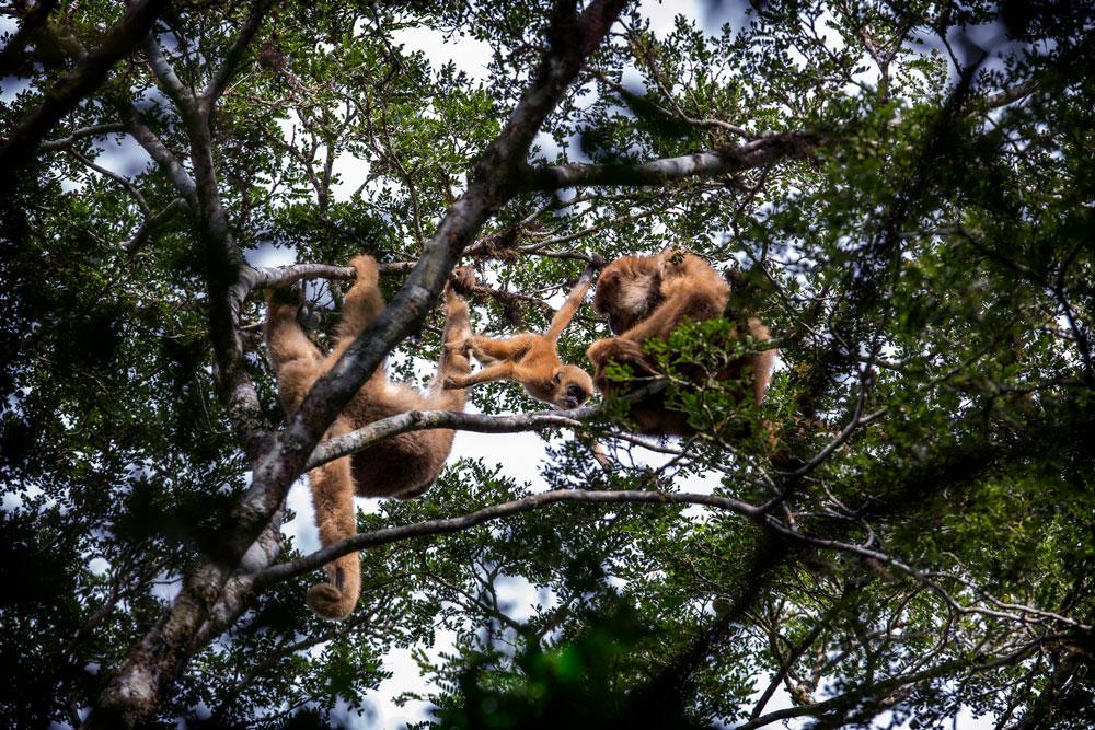 Muriqui-do-sul, uma das espécies ameaçadas de extinção apoiadas pelo Funbio