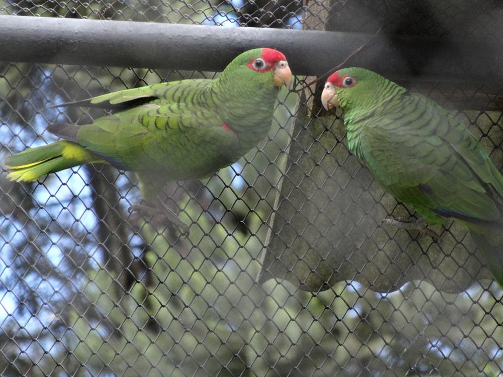 Papagaio-charão: uma das espécies ameaçadas apoiadas pelo Funbio