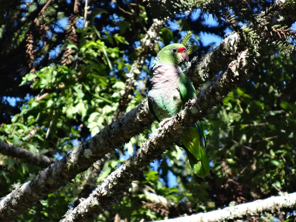 Papagaio-de-peito-roxo, umas das espécies ameaçadas de extinção apoiadas pelo Funbio