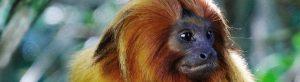 conservacao-do-mico-leao-dourado