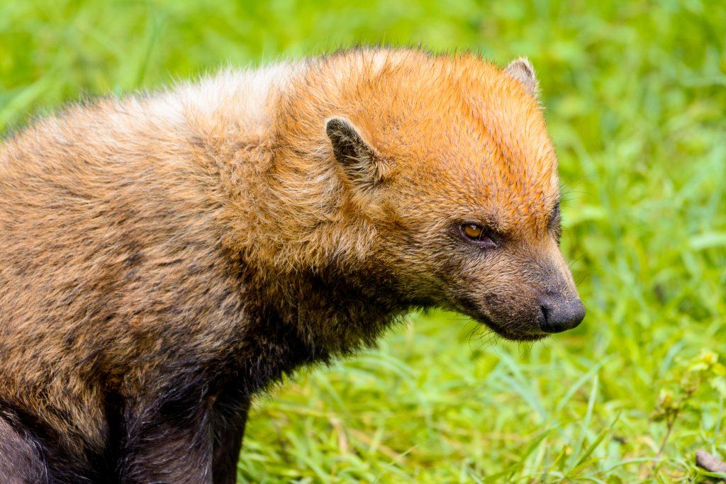 Cachorro-vinagre de perfil. Cachorro selvagem de quase 1 metro com pelagem marrom-avermelhada, sendo mais clara na cabeça e região dorsal. Ele tem pernas e caudas curtas e orelhas arredondadas.